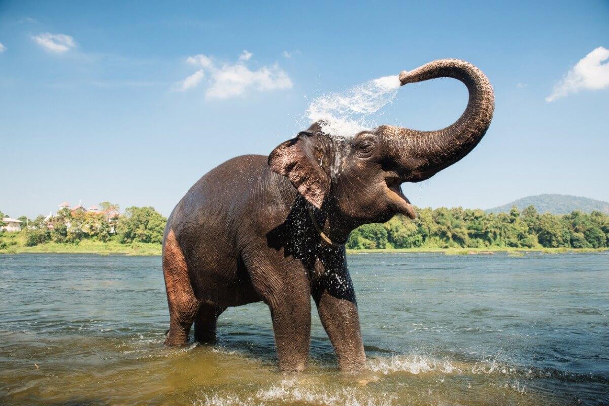 Um elefante asiático sorrindo.
