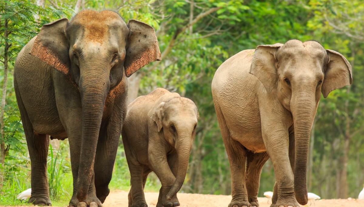 Uma família de elefantes asiáticos.