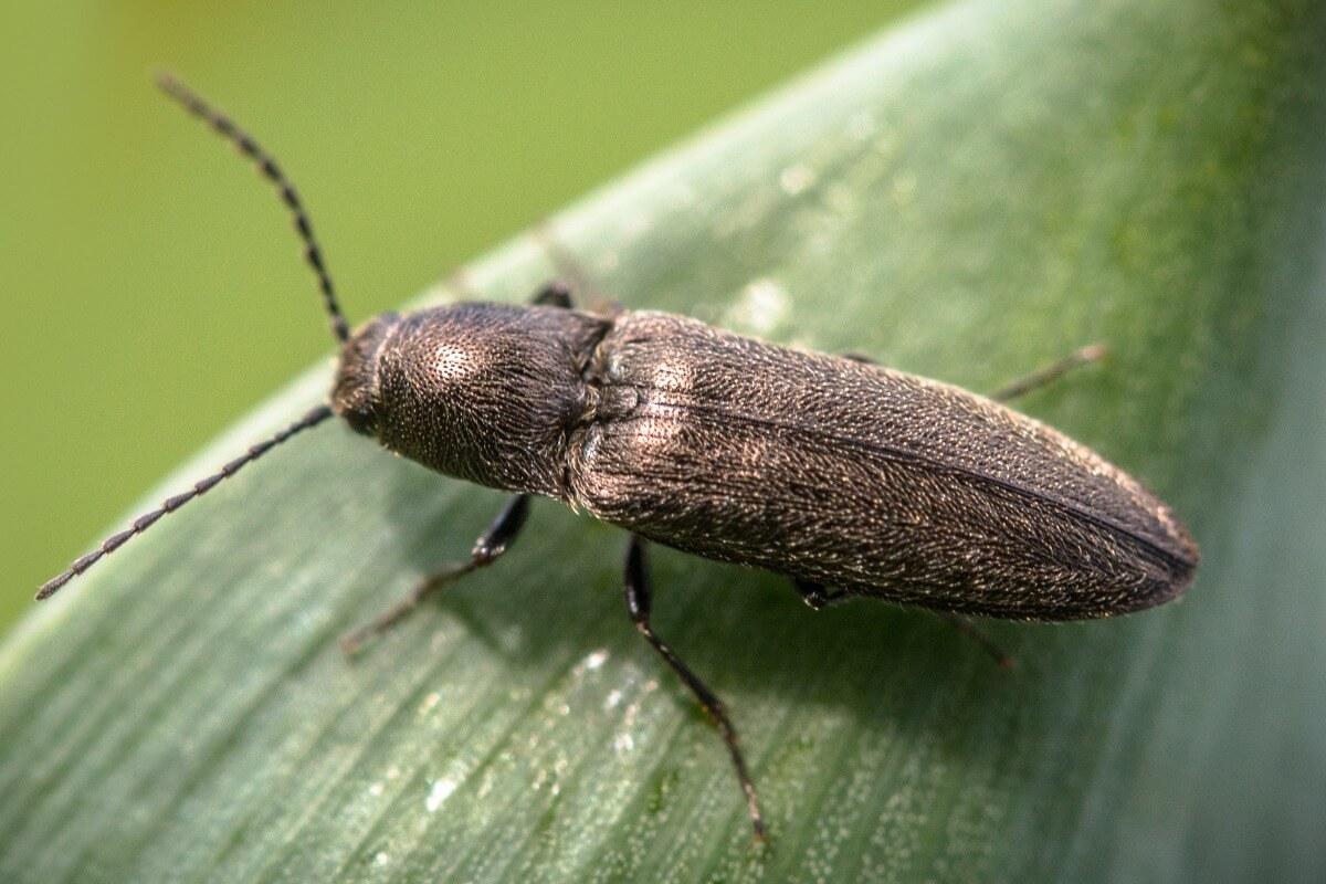 Un scarabée bioluminescent sur une feuille.
