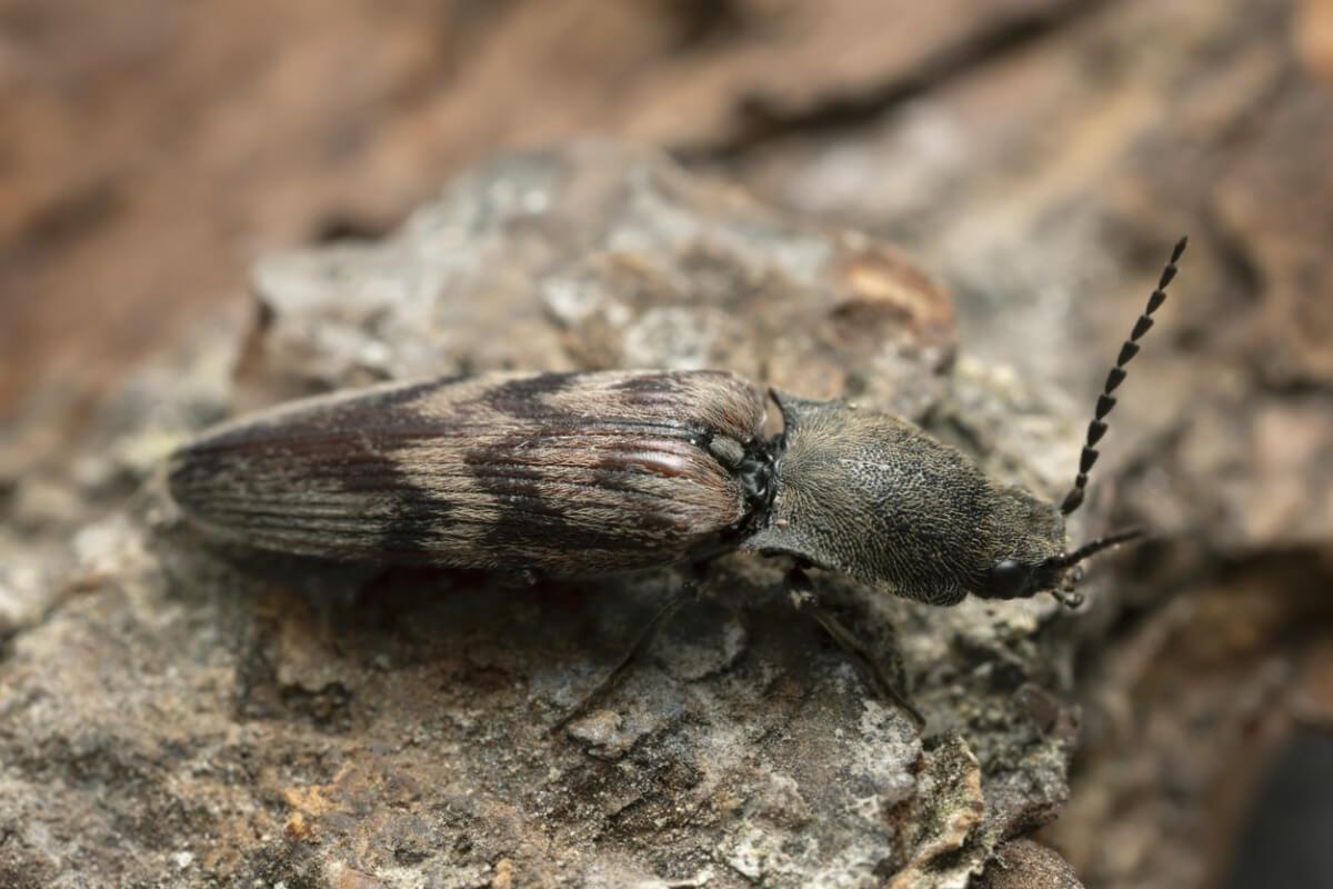 Un scarabée bioluminescent.