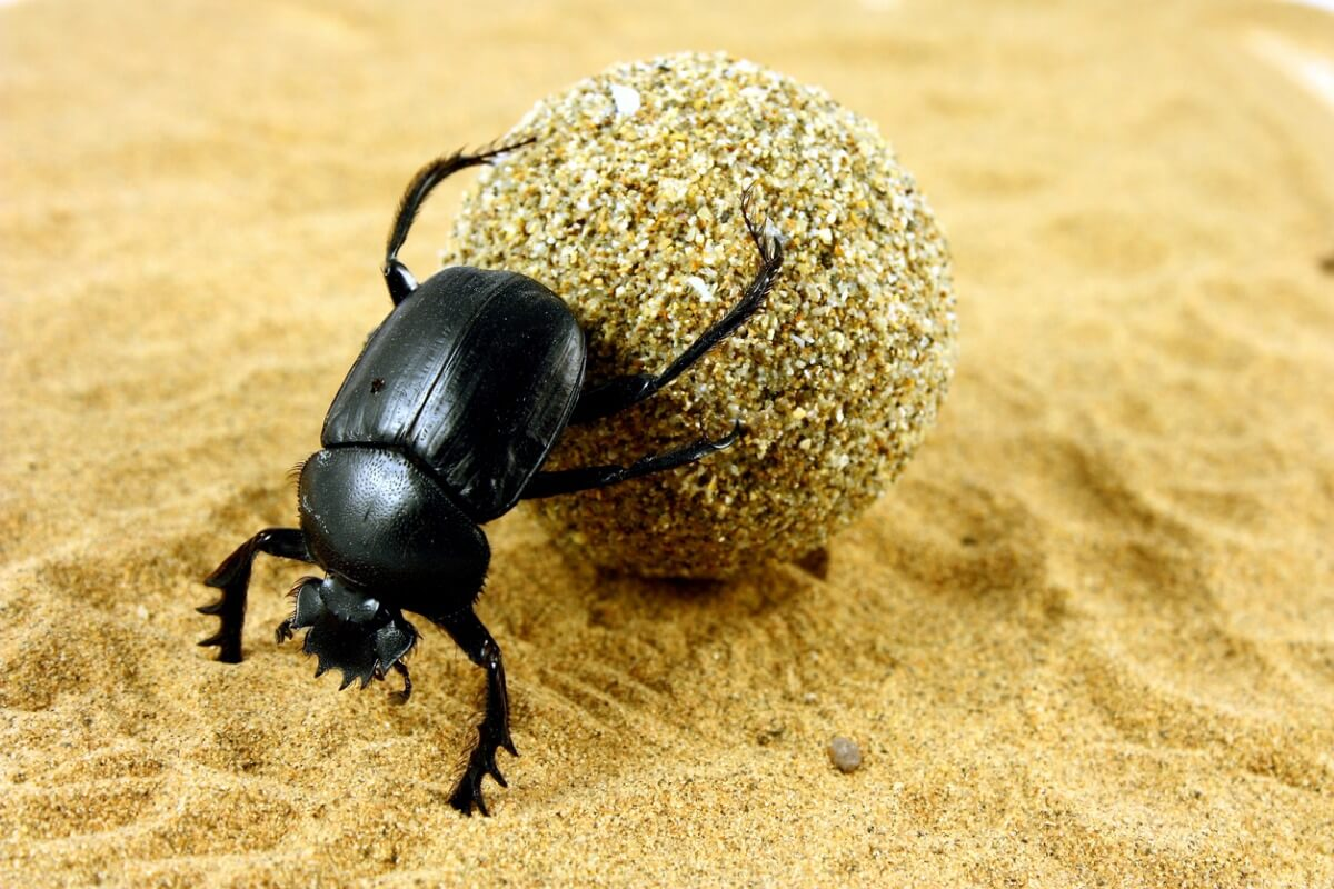 Un escarabajo egipcio transporta heces.