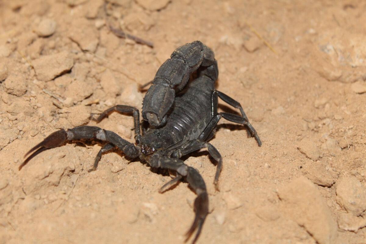 Escorpión de cola negra: hábitat y características