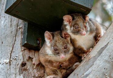 Falangero de cola anillada: hábitat, distribución y comportamiento