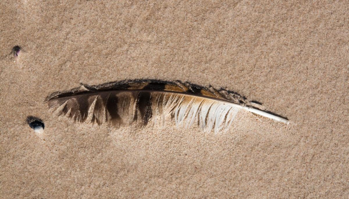 Un fossile d'une plume.