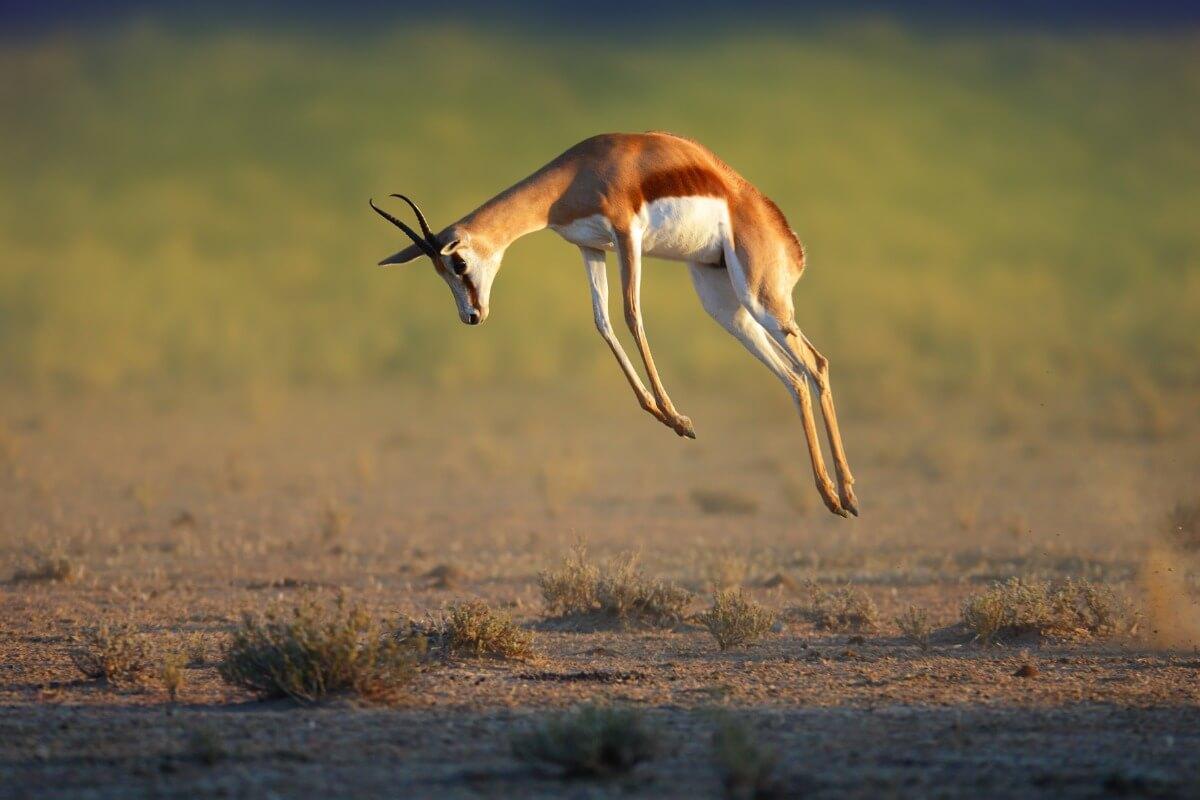Una gacela saltarina practicando el pronking.