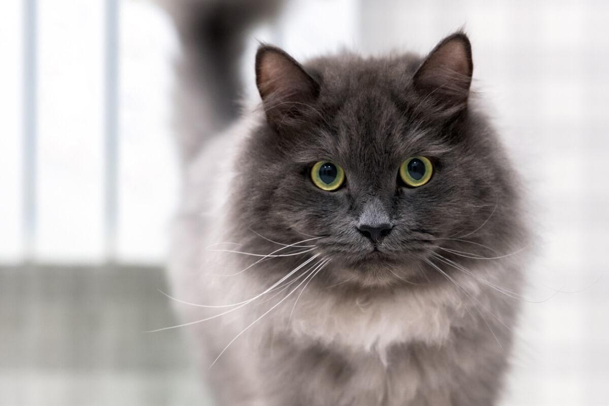 I baffi del gatto sono essenziali.