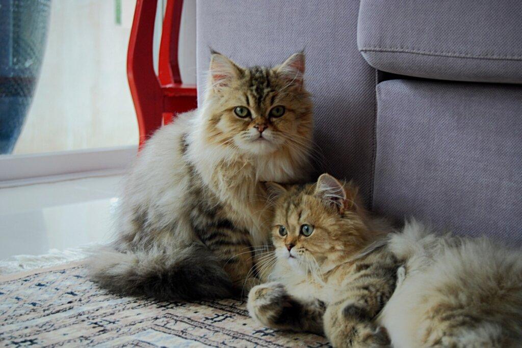 ¿Existen los gatos gemelos?