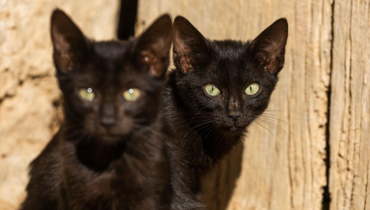 Unos gatos negros que parecen gemelos.