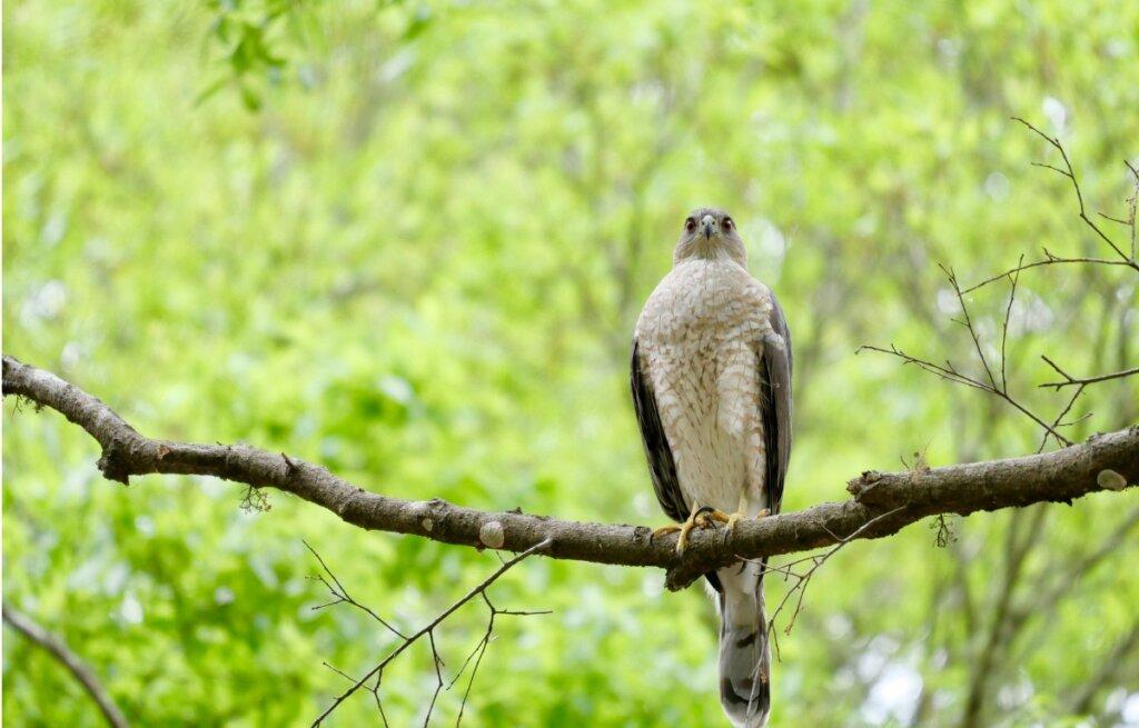 Gavilán pecho canela: hábitat, características y distribución