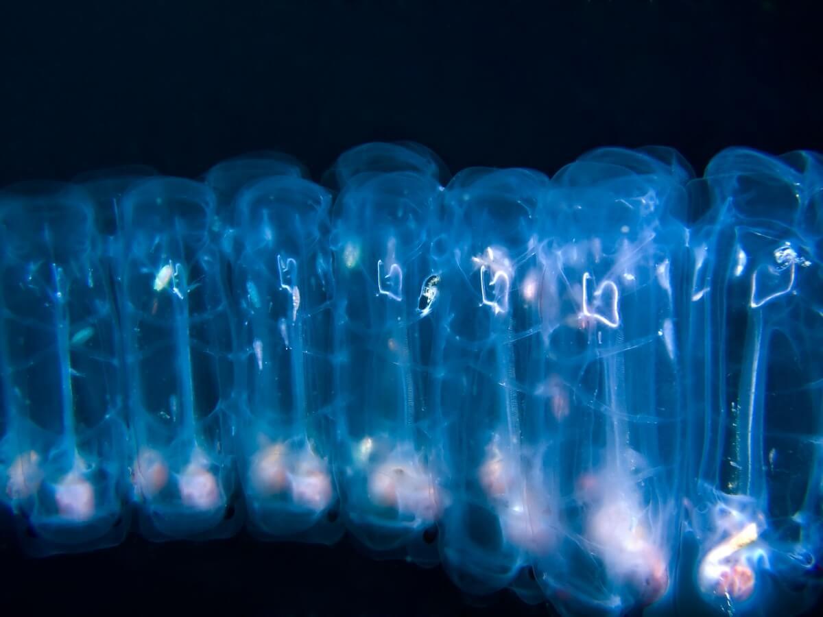 Um blastozoide de salpa.