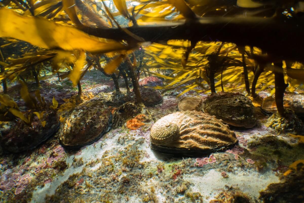 Un haliotis en un bosque de algas.