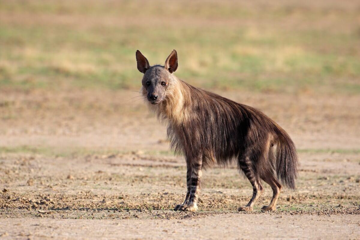 Hiena parda: características, alimentación y reproducción