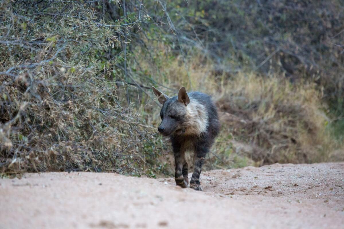 Una hiena parda en namibia.