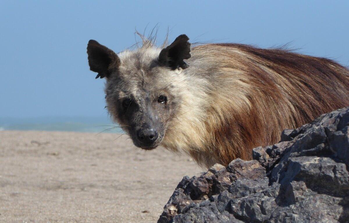 Una hiena parda en la playa.