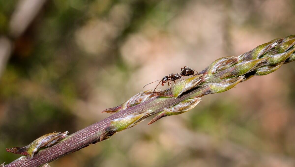 Uma formiga tecelã constrói sua própria casa.