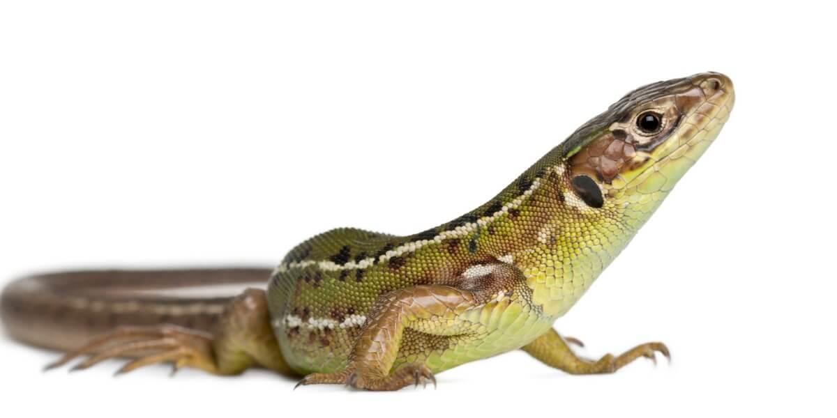 O que os lagartos comem?