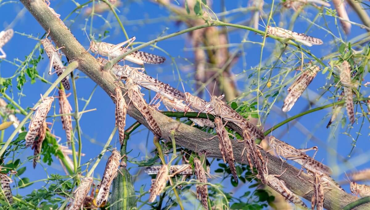 10 curiosità sulle locuste