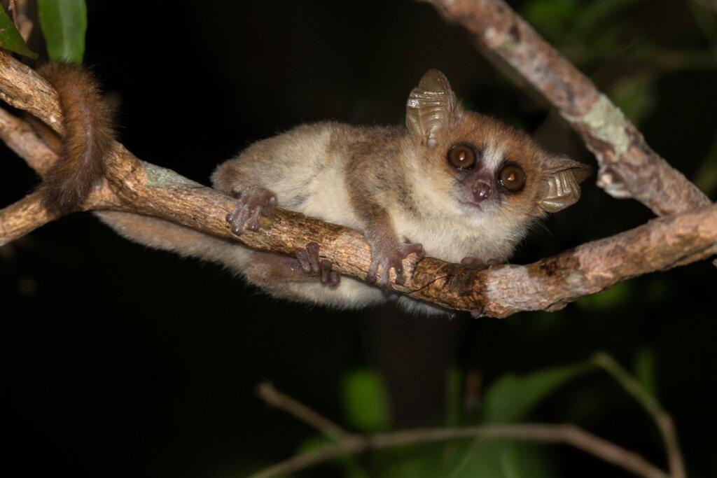 Lémur ratón gris: características, hábitat y reproducción