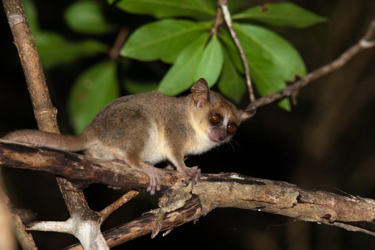 Um lêmure rato cinza.