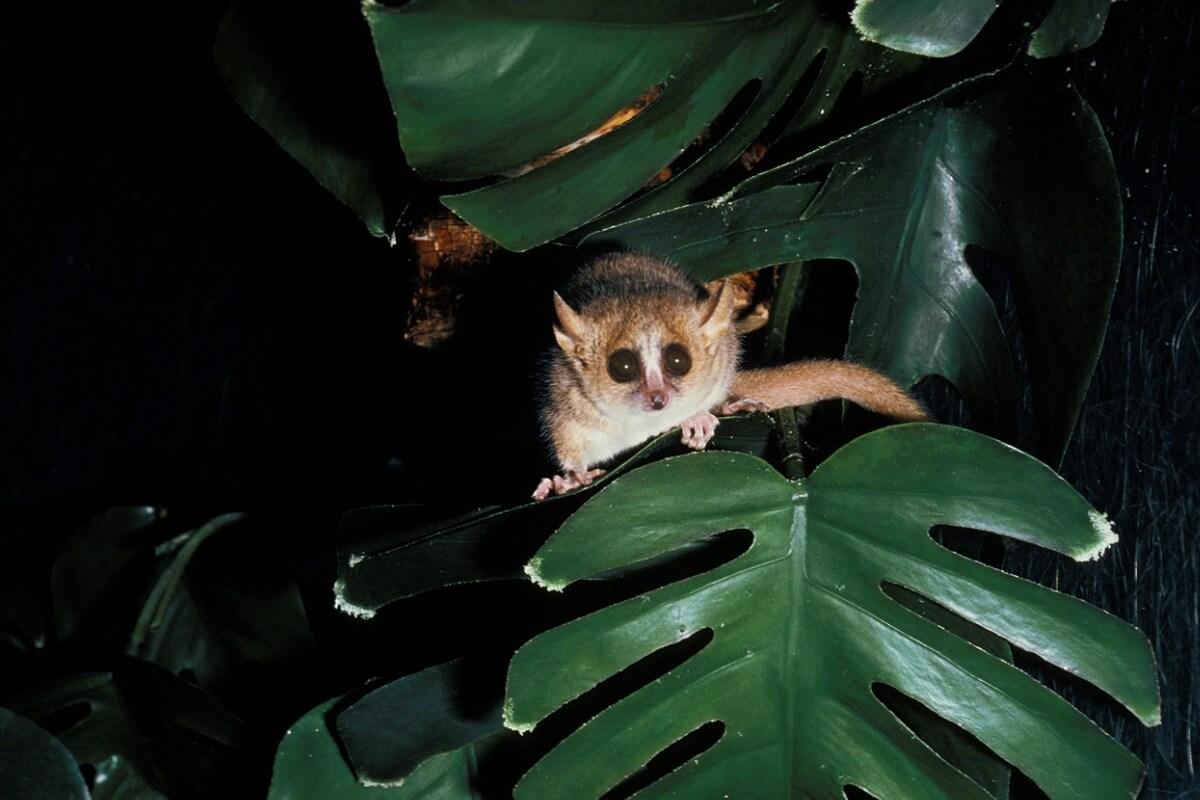 Um lêmure rato cinza em uma folha.