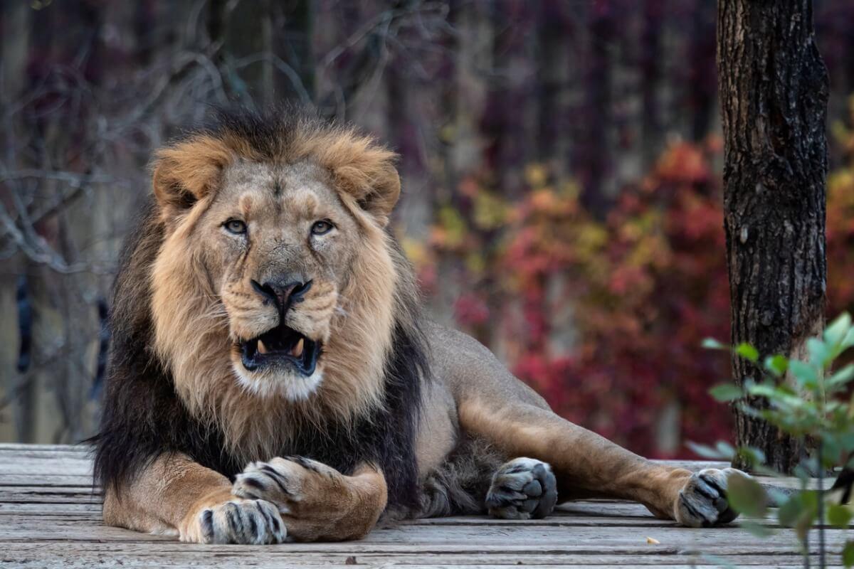 Un león asiático en estado crítico.
