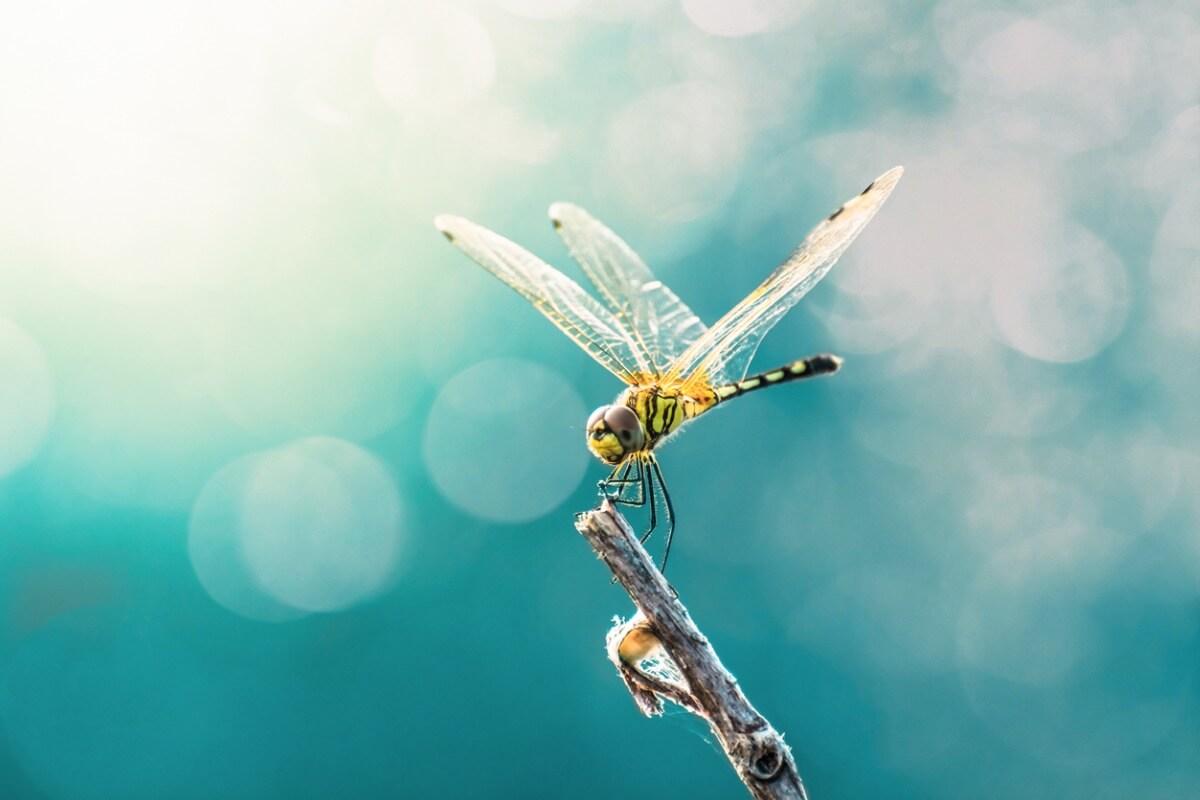 Libellen gehören zu den Tieren mit den größten Augen.