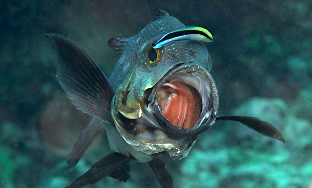 One fish cleans the mouth of another.