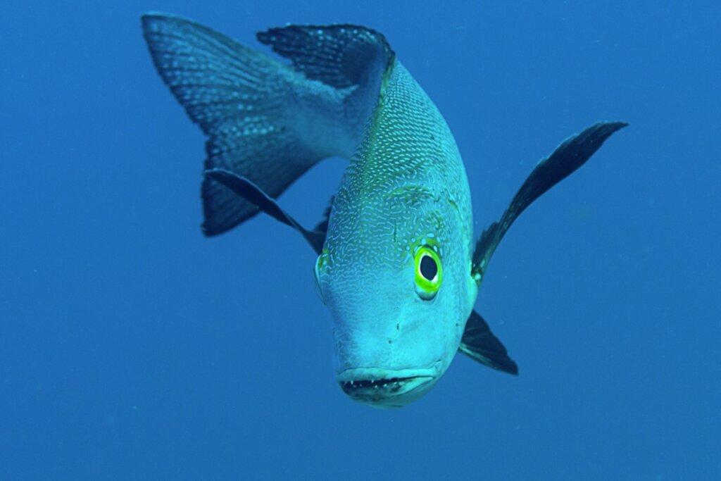 Macolor macularis, el pez más longevo