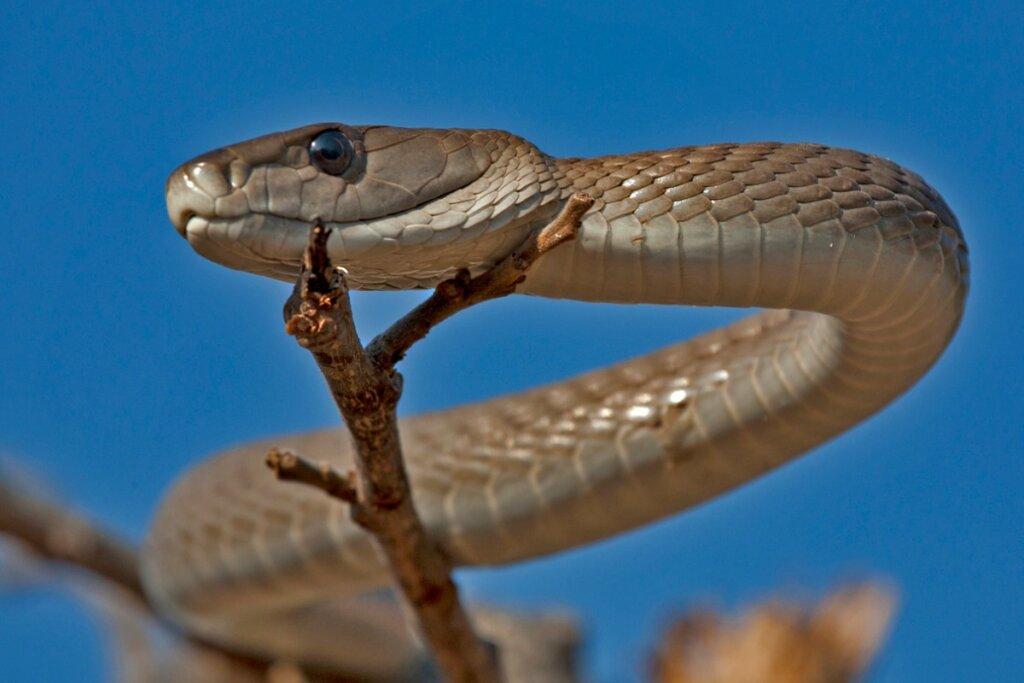 Mamba negra: características, hábitat y veneno