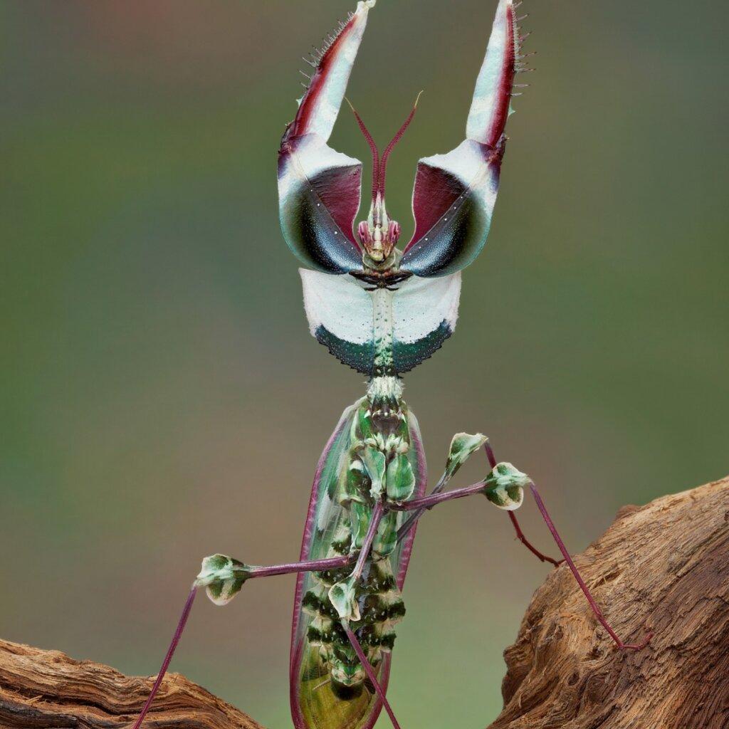 Mantis diabólica: todo lo que debes saber