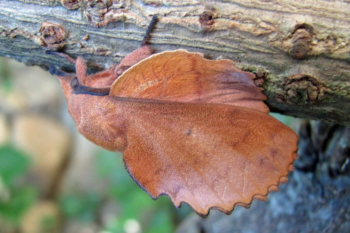 One of the defense methods in insects is to look like a leaf.