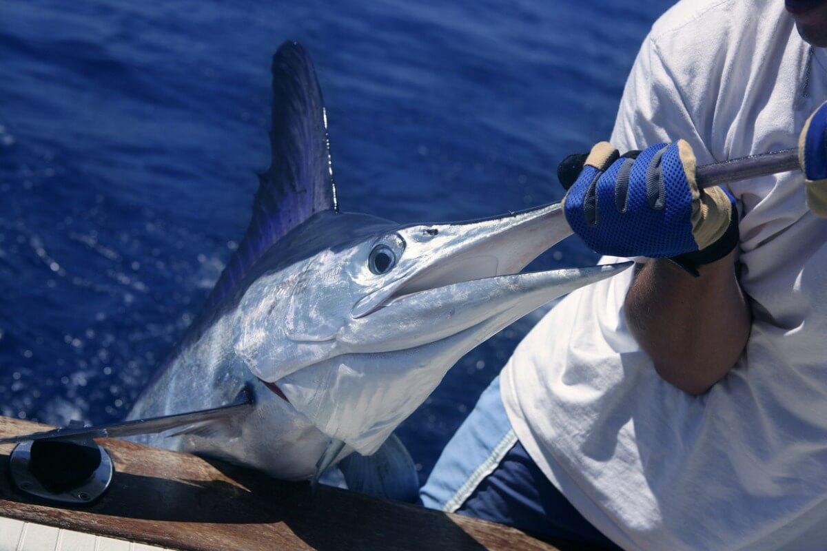 Le marlin fait partie des animaux les plus rapides.