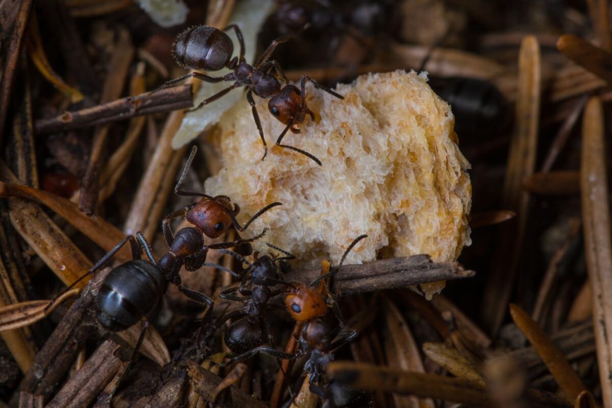 Det er mange forsvarsmekanismer hos maur.