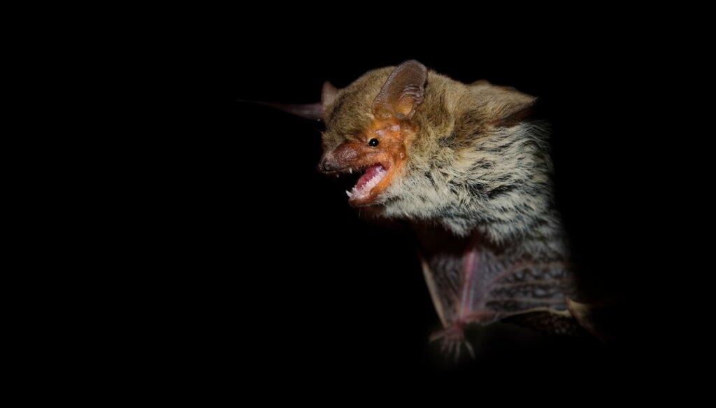¿Los murciélagos son ciegos?