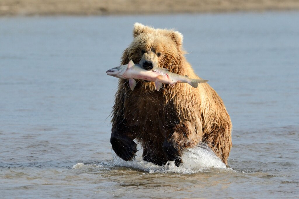 ¿Por qué a los osos les gusta el salmón?