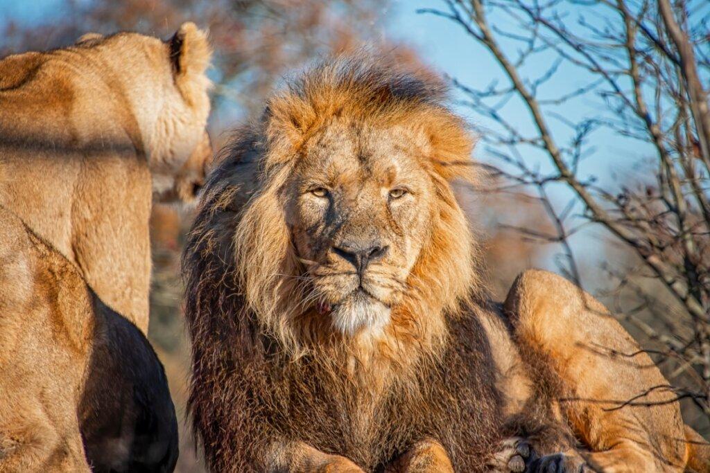 León asiático: características, hábitat y estado de conservación