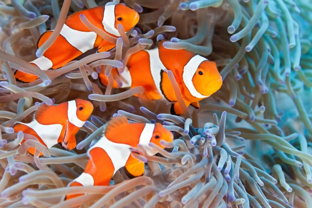Un grupo de peces payaso sobre una anémona.