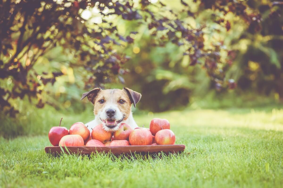 Un perro contento que está comiendo manzanas.
