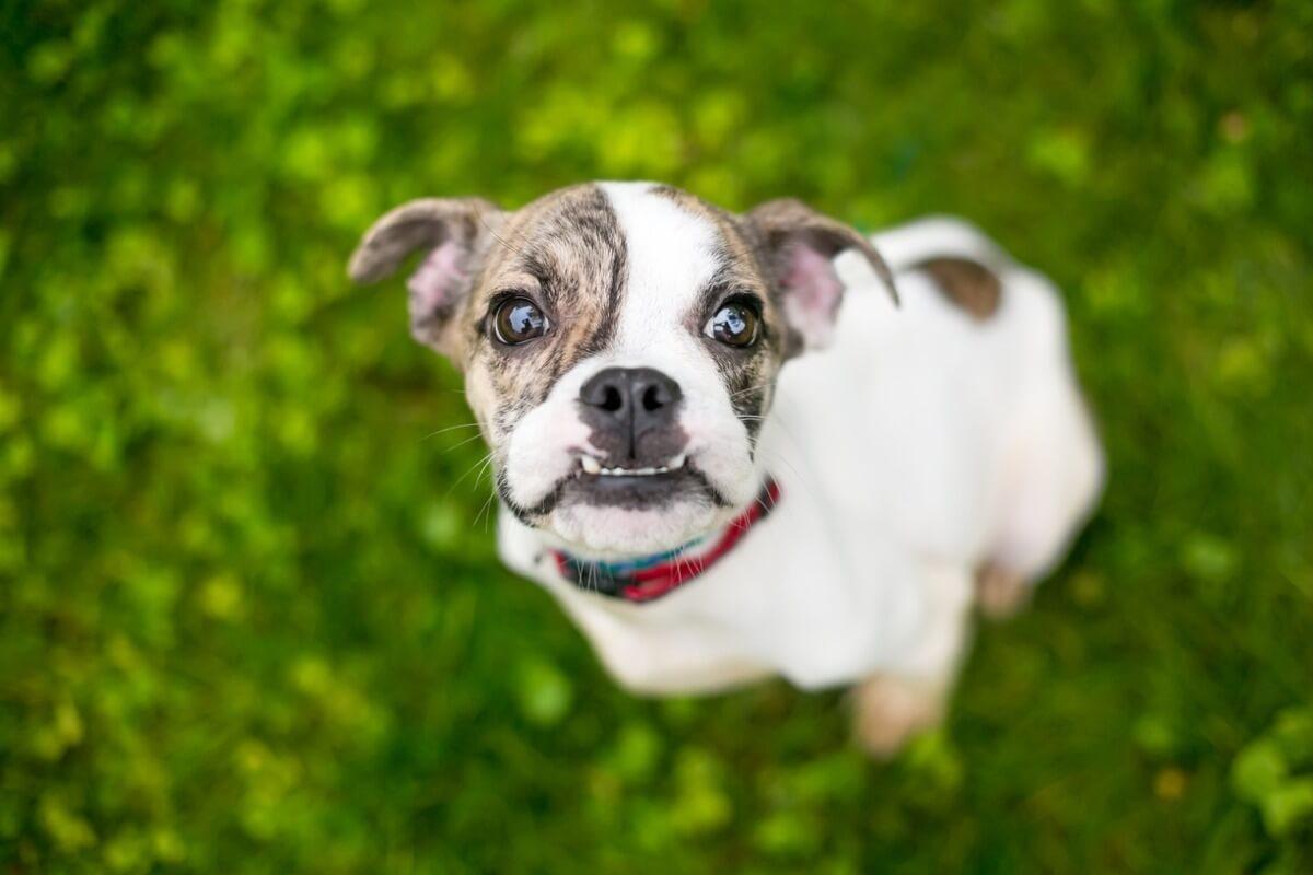 Un chien atteint de malocclusion dentaire regarde la caméra.