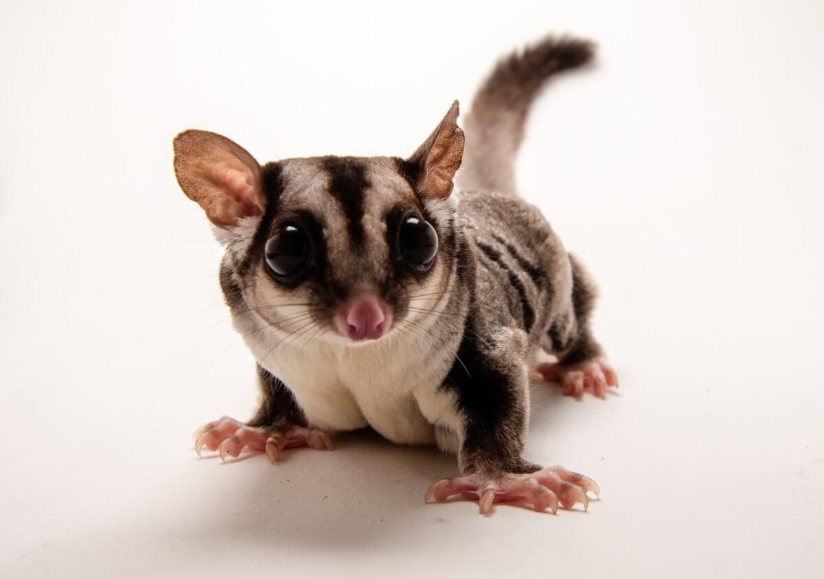 Una de las mascotas más raras del mundo.