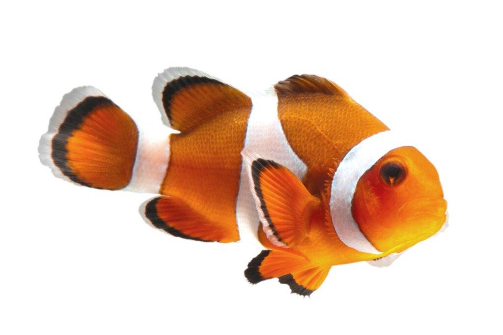 Cuidados del pez payaso