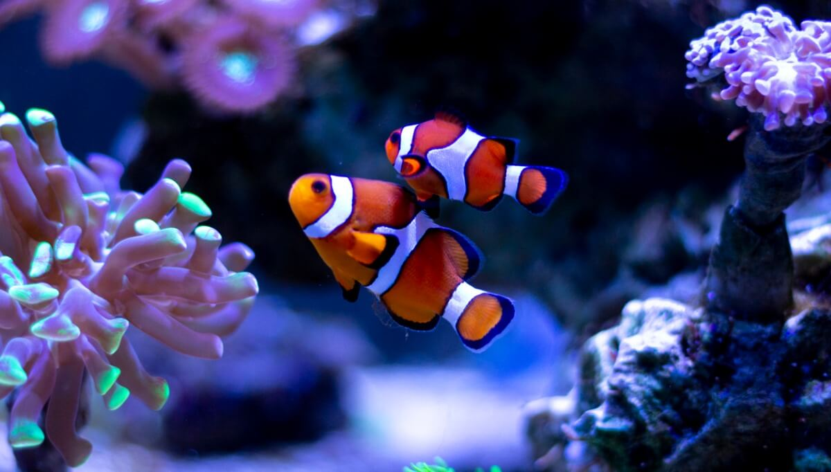 2 peces payaso juntos.