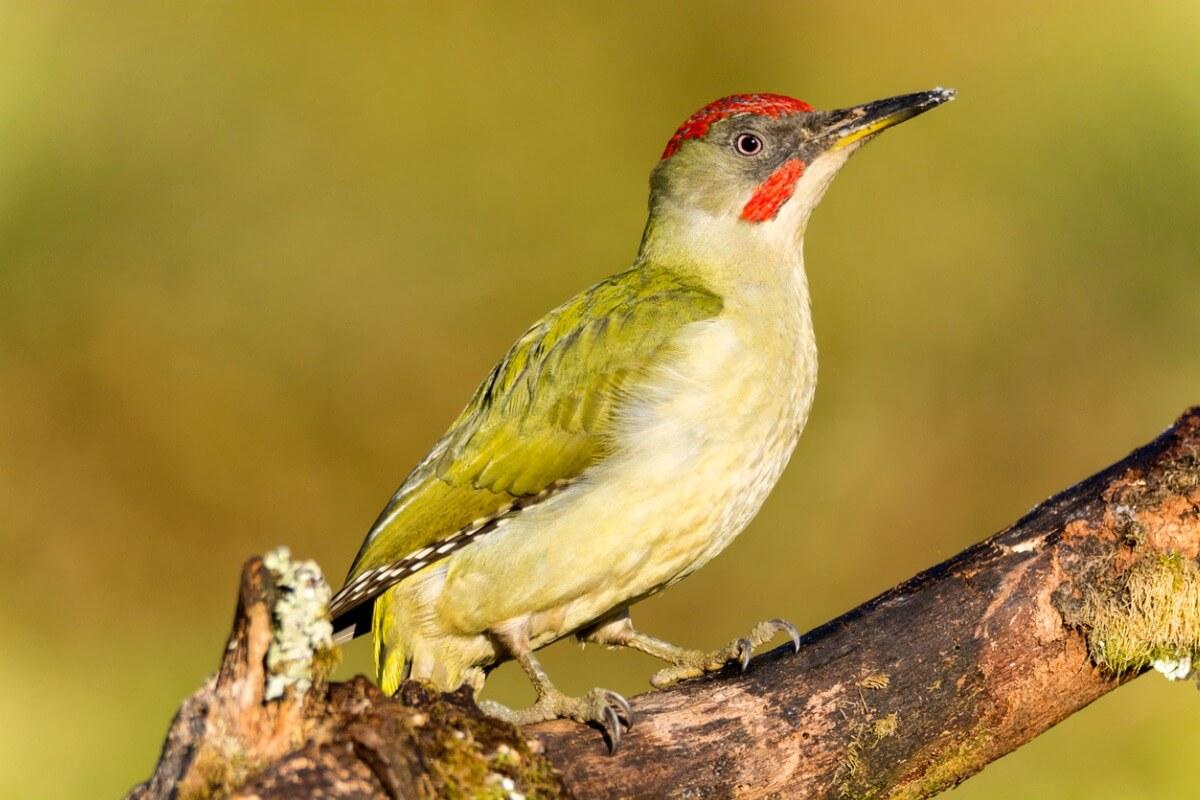 Pito real: el más extendido de los pájaros carpinteros