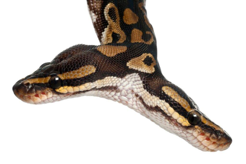 Curiosidades de las serpientes bicéfalas