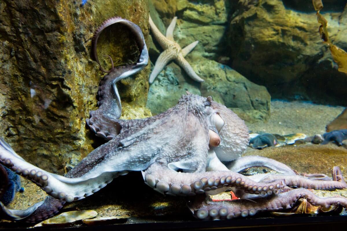 Une pieuvre géante du Pacifique dans un aquarium.