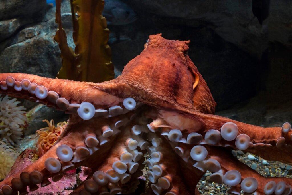 Pulpo gigante del Pacífico: características, hábitat y más datos