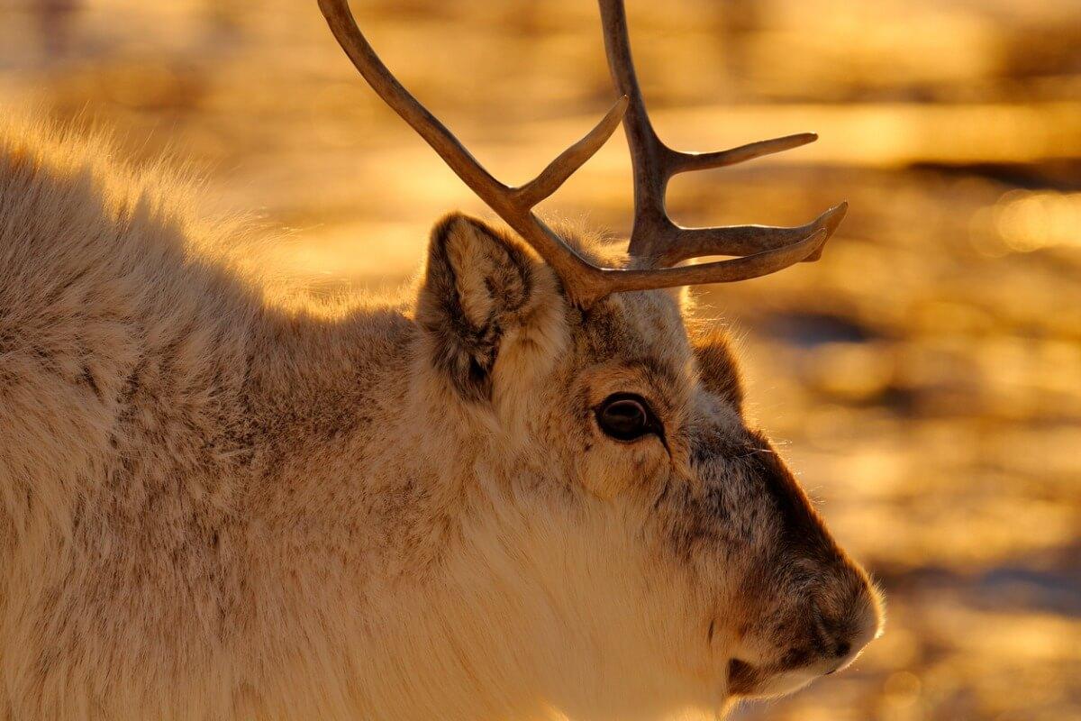 Los renos son animales migratorios.