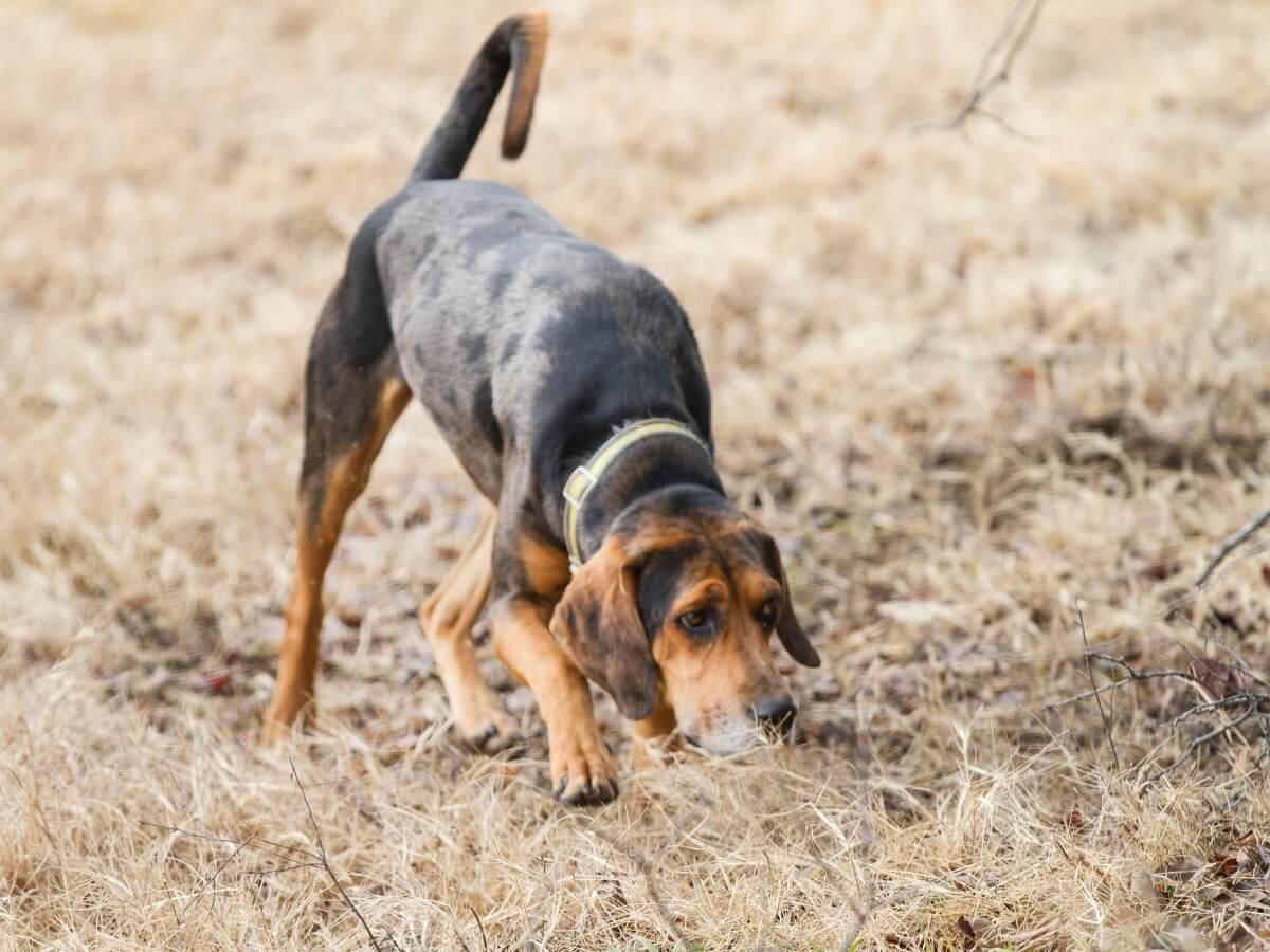 A hound smells a trail.