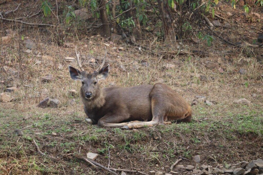 Sambar: el más grande de los ciervos orientales