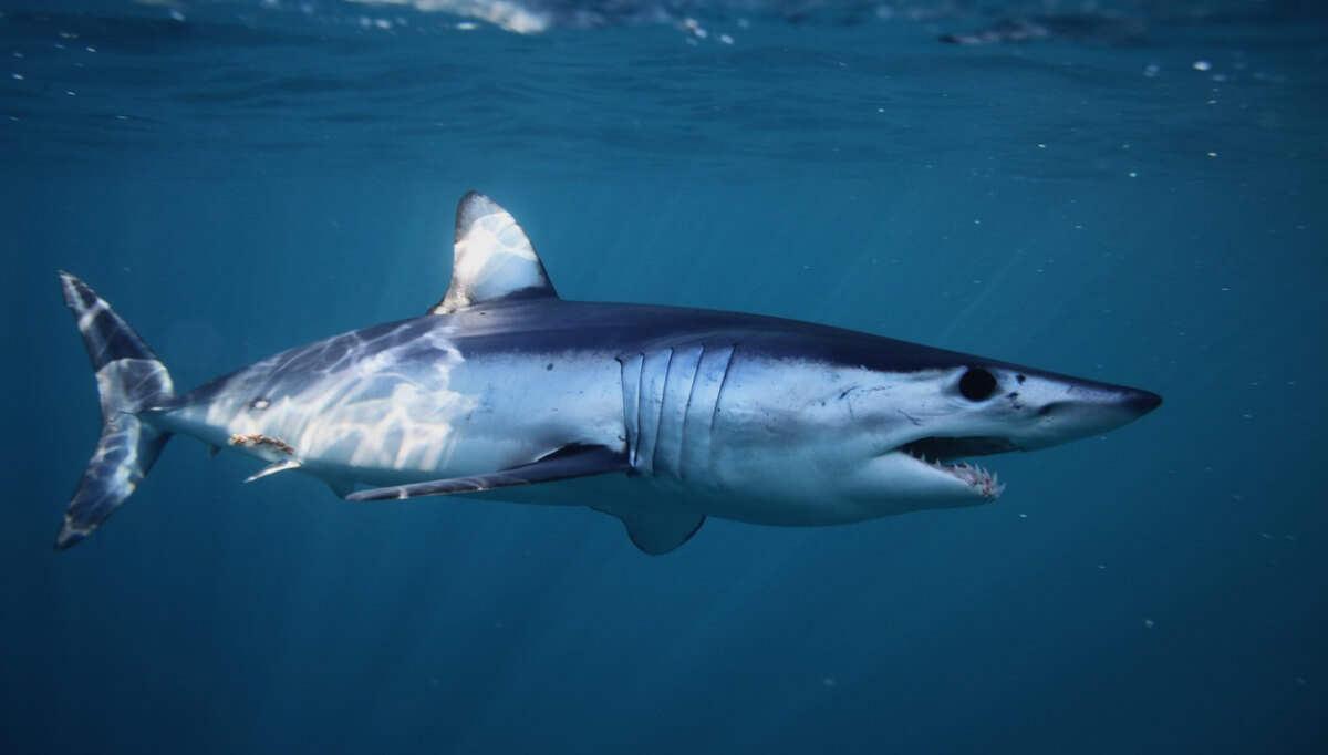 Un tiburón marrajo.